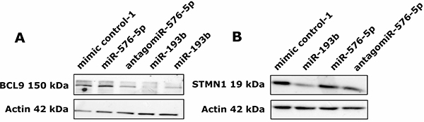 miR-193b downregulates protein expression of BCL9 and STMN1.