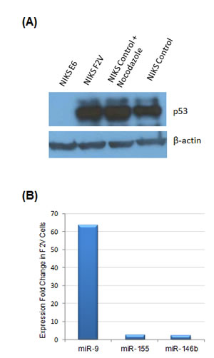 miR-9 activation by HPV E6 was independent of p53 activity.