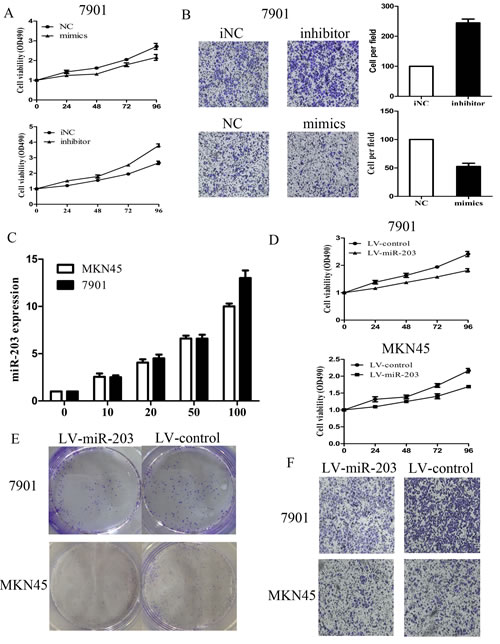 Figure2: Effect of miR-203 on 7901 cell growth and invasion.