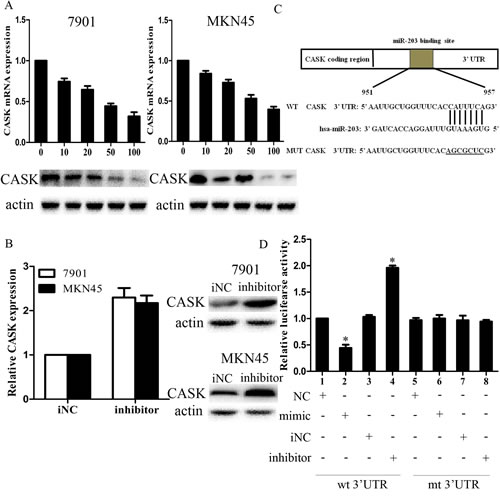 Figure3: CASK was a direct target of miR-203 in GC cells.