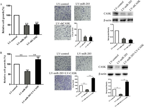 Figure4: CASK was involved in miR-203-induced growth inhibition in 7901 cells.