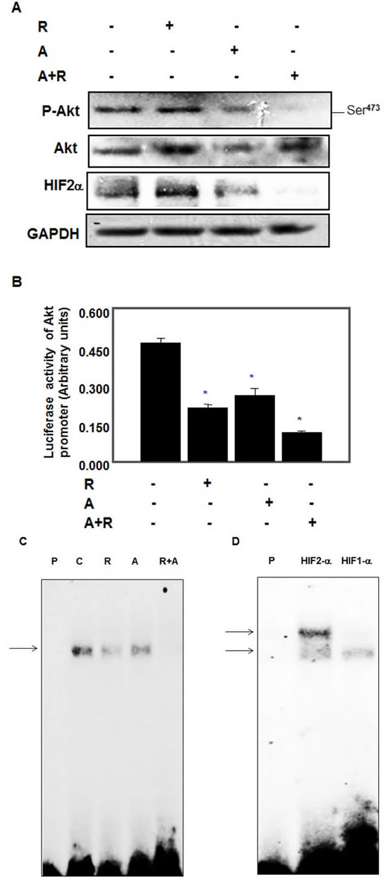 Drug combinations abolished Akt survival kinase and blocked binding of HIF-2α to Akt promoter in AML cells.