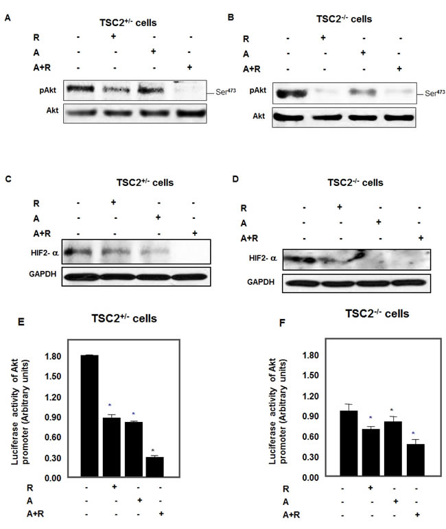 Abolished p-Akt and HIF-2α expression in cells treated with drug combinations.