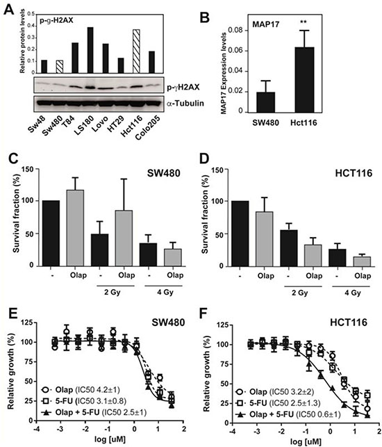 The DNA damage inhibitor olaparib re-sensitizes MAP17- and pH2AX-positive rectal tumors to radiotherapy treatment.