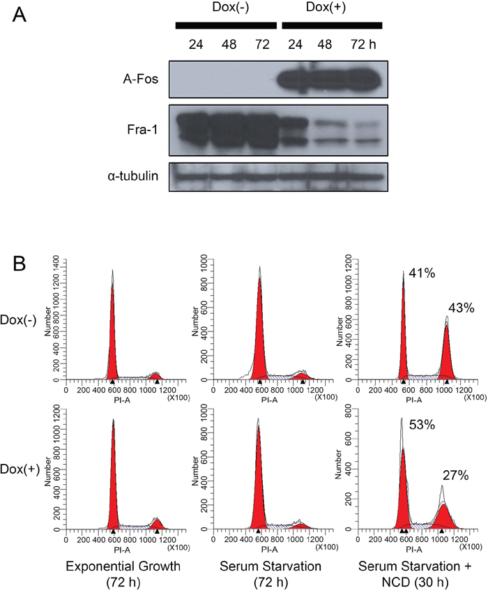 Inhibition of AP-1 activity in MDA-MB-231 cells reduces Fra-1 expression and suppresses the ability of the cells to progress through the cell cycle in the absence of serum.