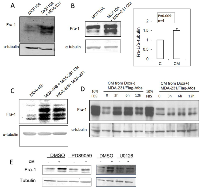 AP-1 dependent soluble factors from MDA-MB-231 cells induce Fra-1 expression in MCF10A and MDA-MB-468 cells.