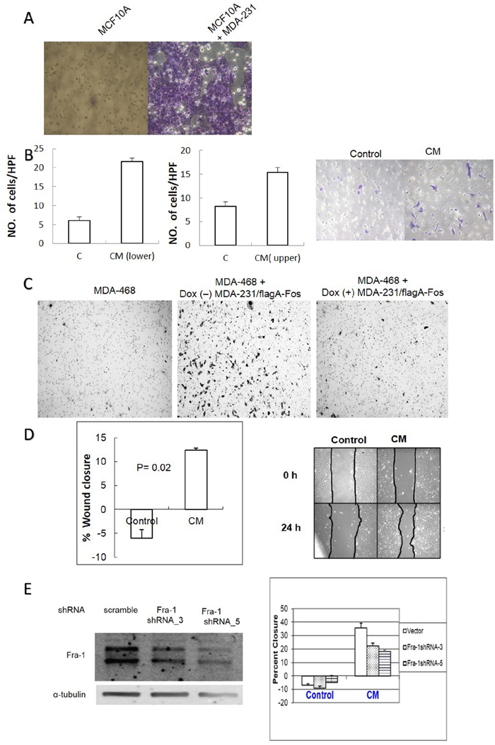 AP-1 dependent soluble factors from MDA-MB-231 cells increase migration of MCF10A and MDA-MB-468 cells in an AP-1 dependent manner.