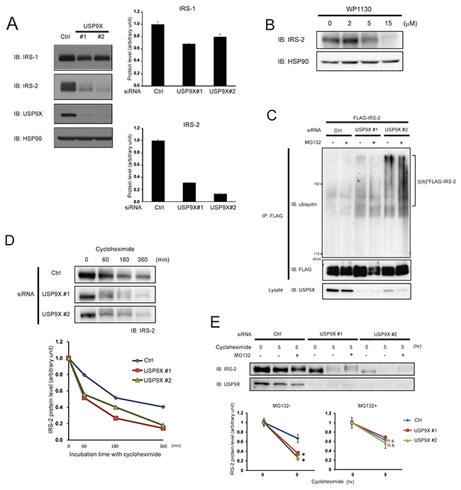 USP9X deubiquitinates IRS-2 to prevent its proteasomal degradation.