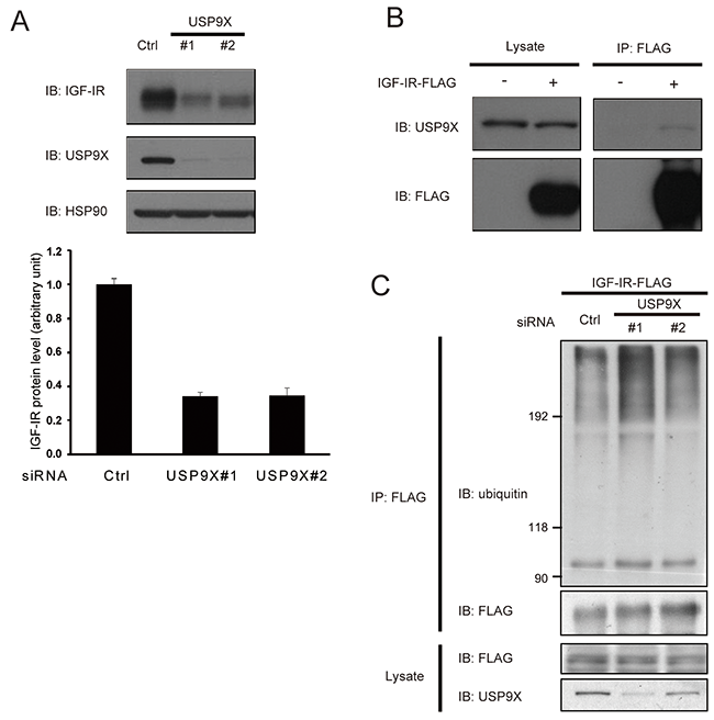 USP9X interacts with IGF-IR and stabilizes it.