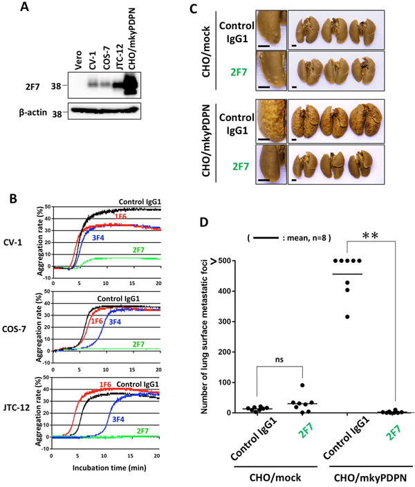Inhibition of endogenous podoplanin-induced platelet aggregation and podoplanin-mediated pulmonary metastasis by anti-PLAG4 mAb.