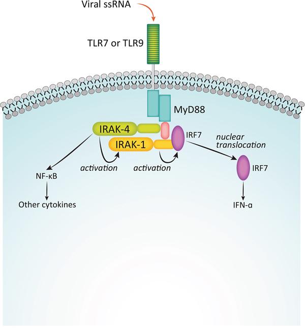 Function of IRAKs in interferon induction.