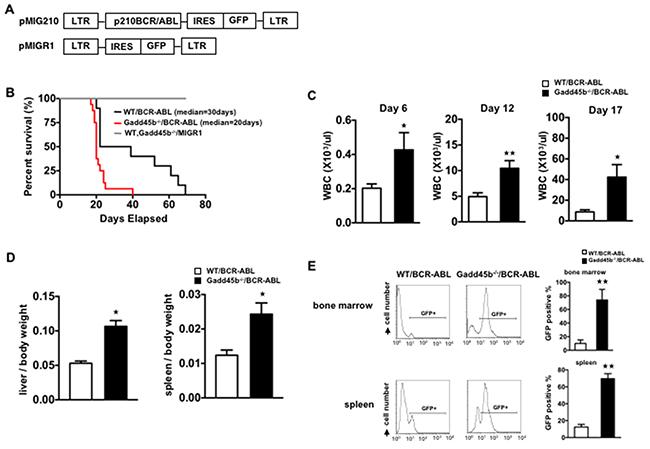 Loss of gadd45b accelerated the development of leukemia in Gadd45b-/-/BCR-ABL recipients.