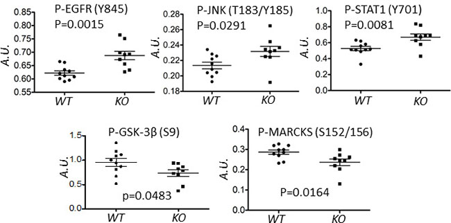 Deletion of capns1 in Her2/Neu-driven mouse mammary tumors correlates with a differential phosphoproteome.