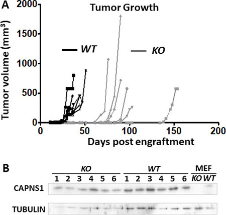 capns1 KO is associated with reduced MTEC tumorigenic potential.