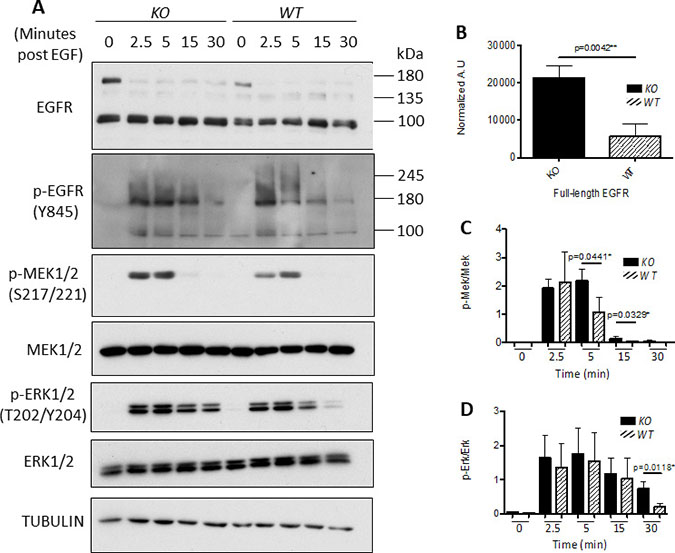 Knockout of calpain correlates with enhanced EGFR expression and sustained MAPK signaling.