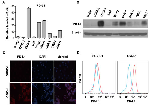PD-L1 expression was associated with EBV infection in human nasopharyngeal carcinoma cell lines.