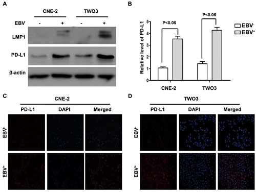 PD-L1 expression was induced by EBV infection in human nasopharyngeal carcinoma cell lines.