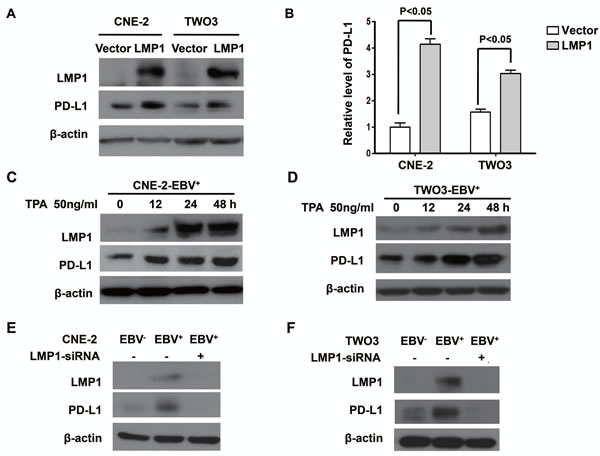 LMP1 mediated the up-regulation of PD-L1 expression in EBV-infected human NPC cells.