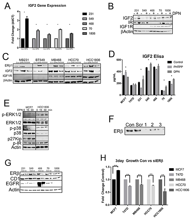 Activation of ERβ upregulates IGF2 and activates the IR/IGF1R/MAPK pathways.