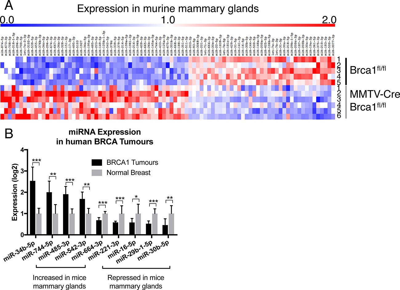 Brca1 deregulates miRNA expression in the mammary gland.