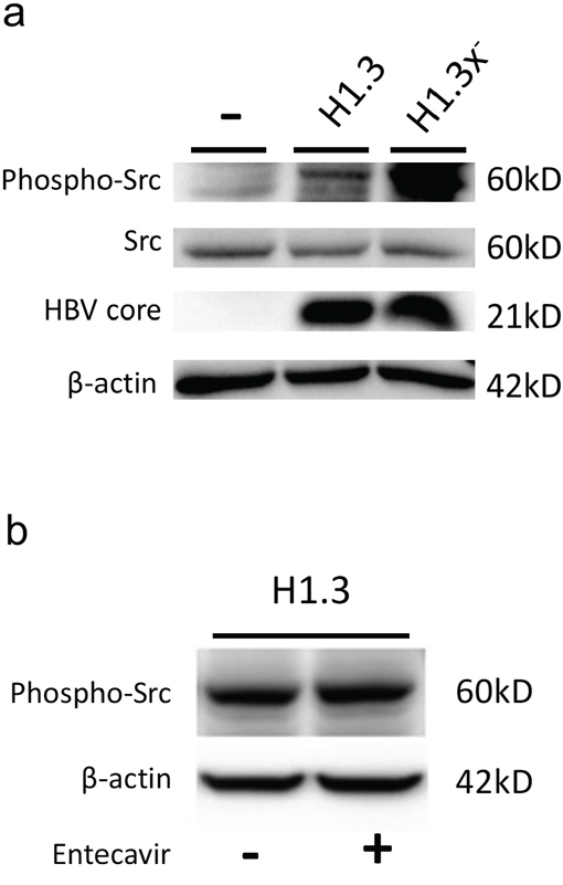 c-Src kinase activity in HBV-replicating hepatoma cells.