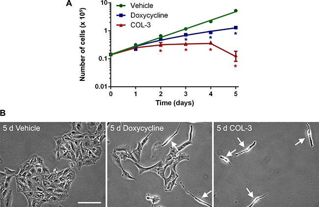 DC decreases the proliferation rate of A549 cells, whereas COL-3 kills A549 cells after 5 d of treatment.