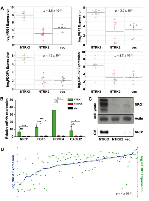 NTRK1 expression in neuroblastoma cells causes NRG1 upregulation and secretion