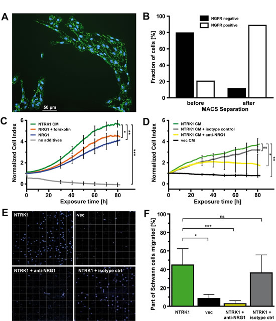 NTRK1-positive neuroblastoma cells attract Schwann cells and induce their proliferation by secreting NRG1.
