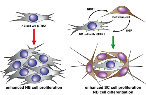Diagramatic representation of our proposed model for bidirectional interaction between NTRK1-expressing neuroblastoma cells and adjacent Schwann cells.