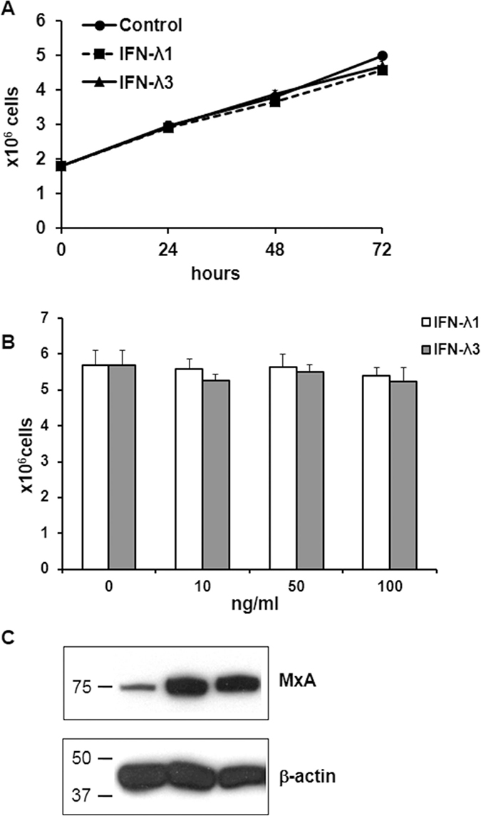 Effects of IFN-λ on T84 cell proliferation and MxA expression.