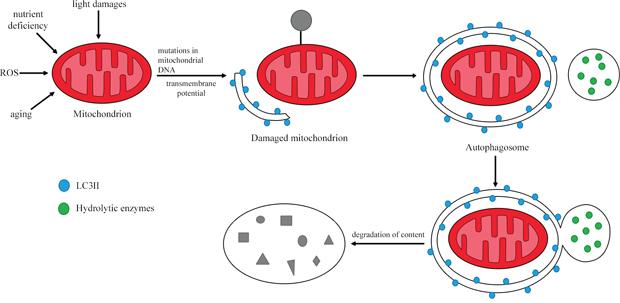 The process of mitophagy.