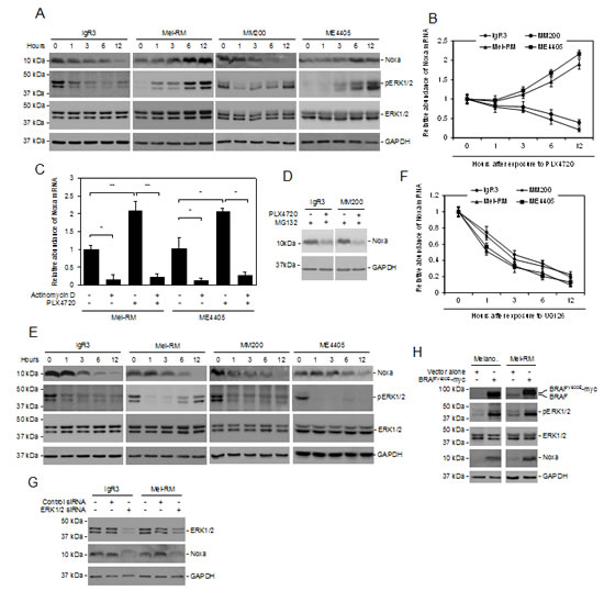 Noxa expression is driven by activation of MEK/ERK signaling in melanoma cells.