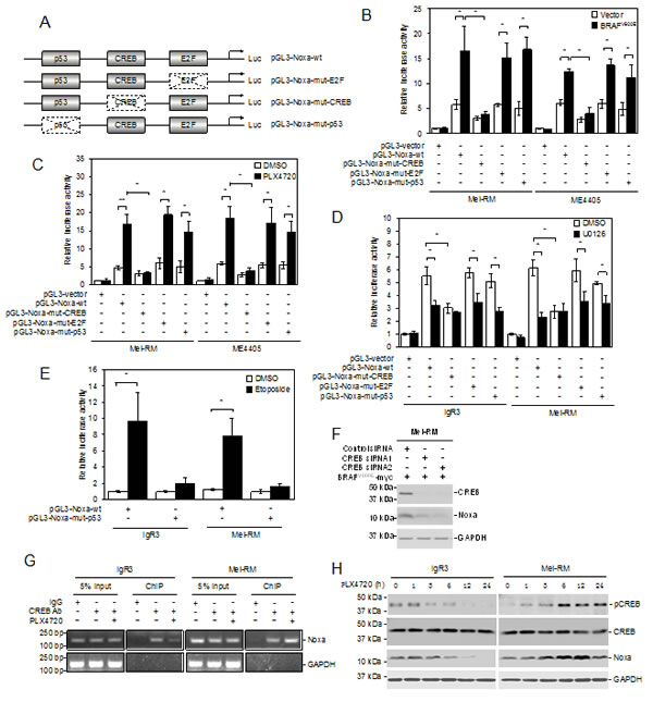 CREB mediates transcriptional upregulation of Noxa by MEK/ERK signaling in melanoma cells.