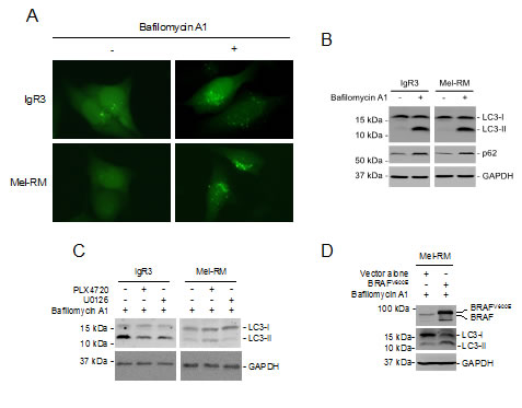 MER/ERK drives activation of autophagy in melanoma cells.