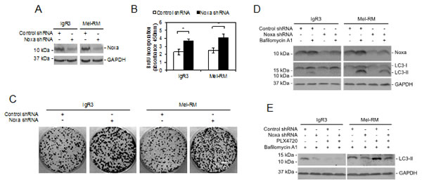 Noxa is necessary for MEK/ERK-driven autophagy in melanoma cells.