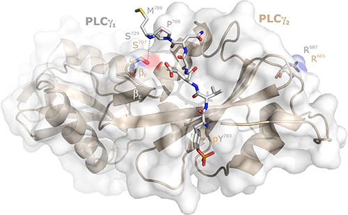 Localization of the PLCγ2 residue S707 relative to its PLCγ1 counterpart S729 in the intramolecular complex between the PLCγ1 SH2n-SH2c-tandem and its tyrosine phosphorylated (pY783) peptide between G781 and M789.