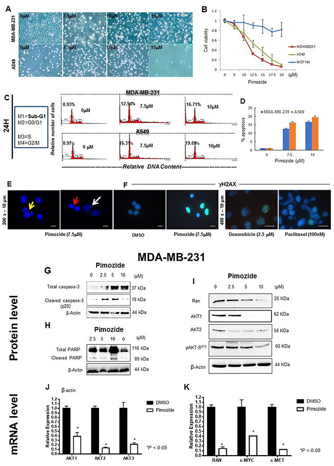 Pimozide inhibits cell proliferation in a dose- and time-dependent manner by inducing cell cycle arrest and DNA double strand breaks (DSBs).