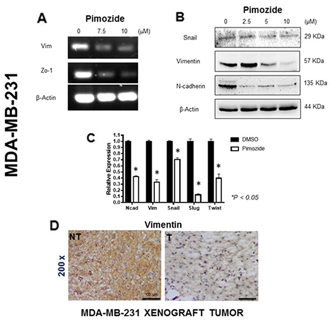 Pimozide induced epithelial mesenchymal transition (EMT) signaling pathways in MDA-MB-231 cells.