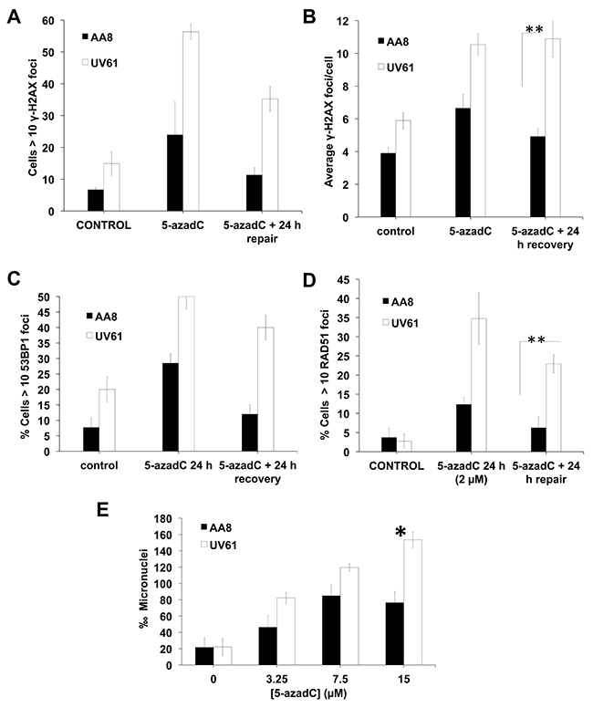 Increased levels of DNA damage in CSB mutant cells after a prolongued 5-azadC treatment.