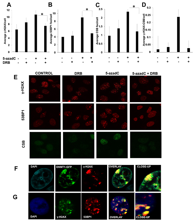 A transcription dependent DNA damage response is activated after 5-azadC incorporation.