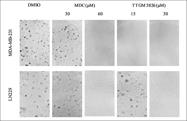 Clonogenic focus formation is inhibited by TTGM 5826.