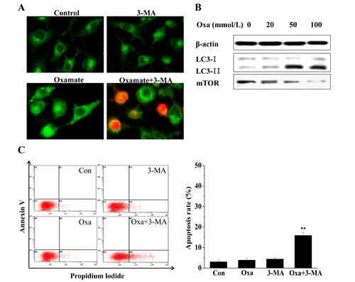 Oxamate induced protective autophagy in A549 cells.