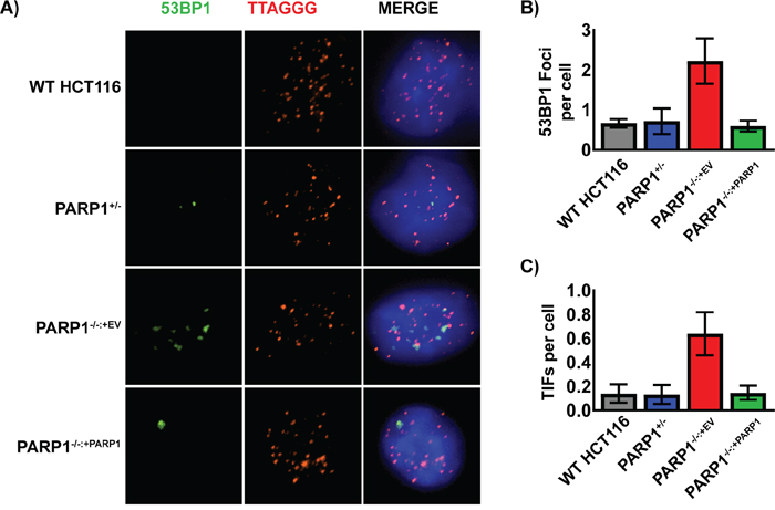 Spontaneous DNA damage foci in PARP1-/- cells co-localize with telomeres.