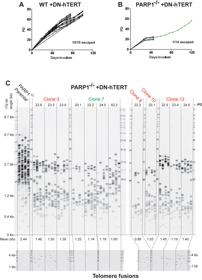 PARP1-/- cells are severely compromised in surviving telomeric stress.