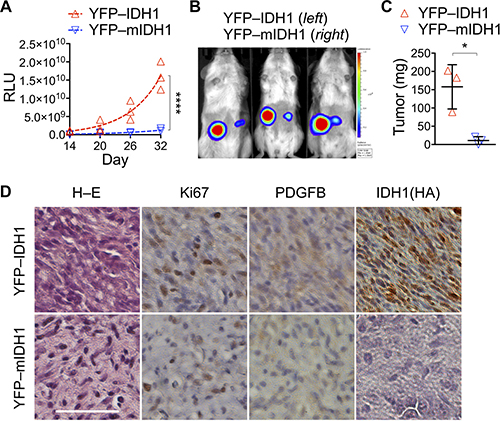 IDH1R132H transduction suppresses subcutaneous tumor growth.
