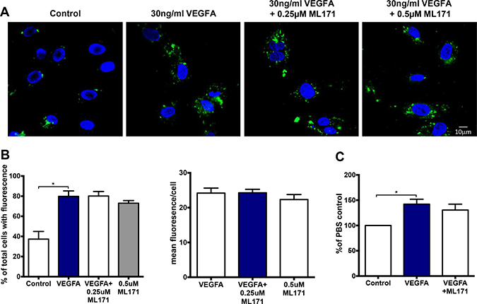 VEGF-dependent endosomal ROS production and proliferation occurs independently of NOX1.