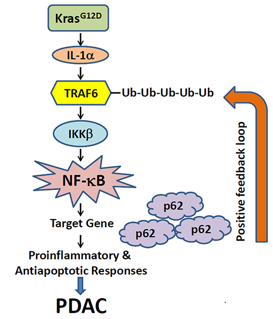 A proposed working model illustrates the potential mechanism through which KrasG12D oncogenic signaling induces positive feedback loops of IL-1α and p62 to sustain constitutive IKKβ/NF-κB activation in PDAC development.