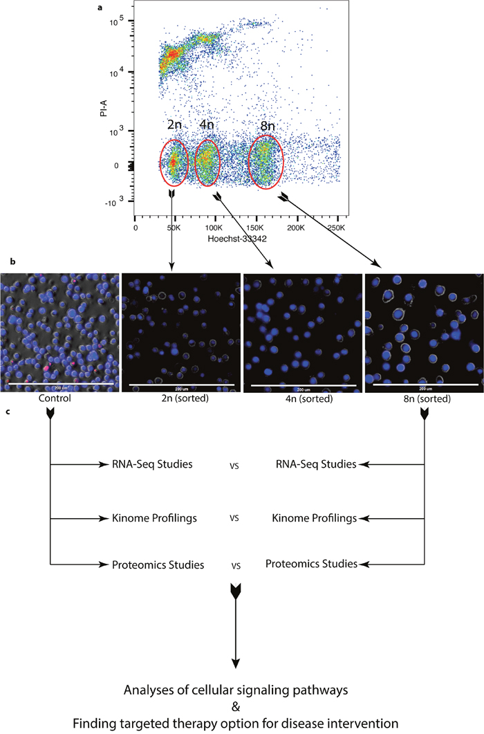 Enrichment of DIAP cells for genomic and proteomic analyses.