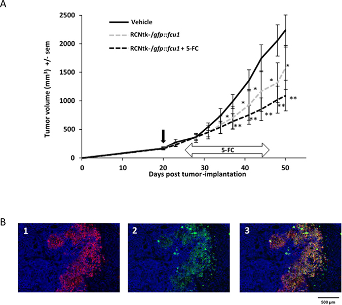 In vivo RCNtk-/gfp::fcu1 anti-tumor efficacy in a colorectal xenograft model.