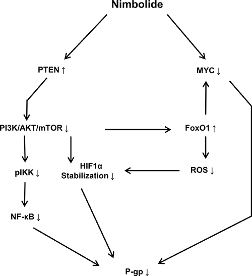 Schematic diagram showing the effect of nimbolide on P-glycoprotein expression and the involved molecular mediators.